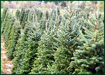 Evergreen Trees